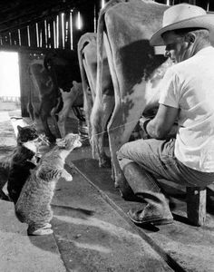 getting a drink...I use to milk my grand daddy's cow, and this is just what the barn cats did. Fun to watch