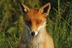 Fox | by ncs1984 Fox Face, Animals, Animales, Animaux, Animal, Animais