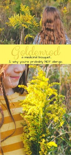 Goldenrod herb- why you're probably NOT allergic to it, and ALL of the amazing uses for this lovely herb!