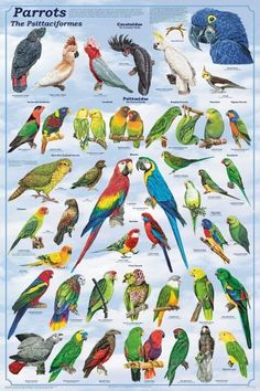 PARROTS POSTER (61x91cm) EDUCATIONAL BIRD DIAGRAM WALL CHART ROSELLA GALAH MACAW