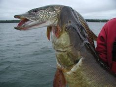 Northern Pike in a big Musky vice