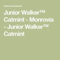 Junior Walker™ Catmint - Monrovia - Junior Walker™ Catmint