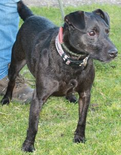 Patterdale Terrier: Basil at All Dogs Matter