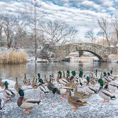 """1,912 Likes, 62 Comments - Noel Y. C. (@nyclovesnyc) on Instagram: """"Ducks at the Pond, one of Central Park's seven bodies of water. Manhattan, New York City.…"""""""