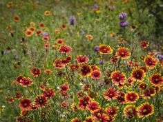 Field of Firewheels.  On our land near the Texas Hill Country, in between Austin, Driftwood and Dripping Springs.
