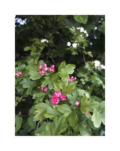 """flower overdose on Instagram: """"pink. . . . . . . . . . . . . . . . . . . . #gardenflowers #beautifulflowers #flowers #flower #nature #garden #flowerpower #flowerlover…"""" Over Dose, Flower Power, Beautiful Flowers, Instagram, Garden, Nature, Plants, Pink, Garten"""
