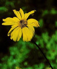 Encelia californica—bush sunflower. Regional Parks Botanic Garden Picture of the Day. 27 Oct 2016
