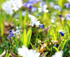 I smell #spring 🌸🍃   #WWIM15Munich #wwim15 #flower #flowers #flowerstagram #instaflower #blossom #bloom #nature #naturelover #naturephotography #natureaddict #quietinthewild #nature_ig #fiftyshadesofnature #nature_perfection #outside_project #visualsoflife #visualsofearth #rsa_outdoors #rural_love #wildflowers #ig_countryside #photography #amateurphotography #liveauthentic #getoutstayout #makro #minimallove (hier: Munich, Germany)