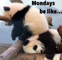 Funny goofy cute silly but understandable baby panda cub meme regarding Monday || Not such a bad weekly struggle || No worries - just move on || Mondays be like...