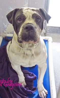 A4789216 I am a friendly 3 yr old male gray/white Chinese Sharpei/pit bull mix. I came to the shelter as a stray on Jan 5. available 1/9/15 NOTE: Bully breeds are not kept as long as others so these dogs are always urgent!! Baldwin Park shelter https://www.facebook.com/photo.php?fbid=906413089370529&set=a.705235432821630&type=3&theater