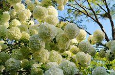 Little Lime™ Hardy Hydrangea : Hydrangea paniculata Hydrangea Paniculata, Hydrangea Arborescens Annabelle, Annabelle Hydrangea, Hortensia Hydrangea, Hydrangeas, Spring Flowers, White Flowers, White Flowering Shrubs, Snowball Viburnum