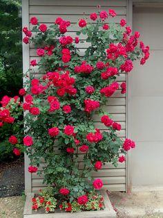 37 Stylish Climbing Roses House Ideas - Modul Home Design Red Climbing Roses, Climbing Rose Trellis, Gemüseanbau In Kübeln, Rose House, Shrub Roses, Garden Shrubs, Herb Garden, Container Gardening Vegetables, Blooming Rose