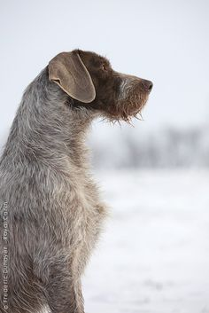 slovakian wirehaired pointer... (looks a lot like a german wirehaired pointer to me)