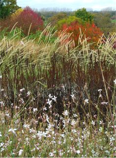 Grasses (Wisley) with Gaura lindheimeri in foreground.