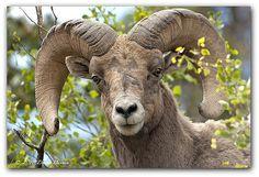 aspen colorado wildlife -        thoughtful ram