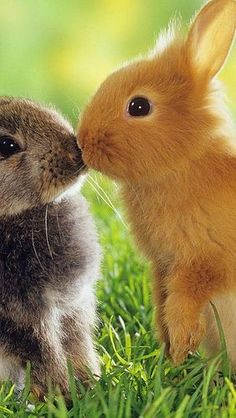 Cute kissing bunnies