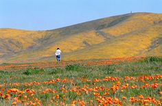 California is on the verge of exploding with wildflowers. Think of it as Mother Nature's gift after plaguing California with years of drought.