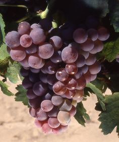 Grenache gris G Wine Varietals, Bacchus, Fruit Garden, Wine Time, Fruits And Vegetables, Horticulture, Grape Vines, Alcoholic Drinks, Cherries