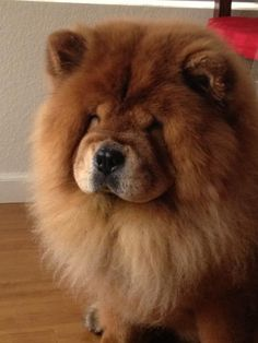 chow dog photo | Lost Brown/Red Chow Chow | San Diego Lost Dogs