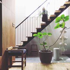 数ある観葉植物の中でも、今人気の「ウンベラータ」って知っていますか?ハート型の丸い葉っぱから、幸運を呼び寄せる観葉植物と呼ばれることもあるとか。初心者さんでも育てやすいところも人気の理由のひとつです。今回はそんなウンベラータに着目したお部屋のインテリアについてご紹介します。 Small Plants, Potted Plants, Indoor Plants, Balcony Garden, Indoor Garden, Modern Home Offices, Plant Identification, Interior Plants, Foliage Plants