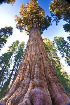 5. Sequoia Gigante, en el Parque Nacional de los Sequoias en California