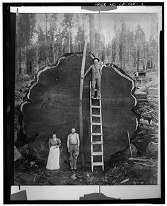A GIANT SEQUOIA LOG, UNDATED - Generals Highway, Three Rivers, Tulare County, CA