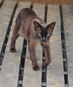 Best Cat Breeds for Families:  BURMESE  |  They love attention & they'll sit on your lap as long as you've ll let them. In fact, they love attention so much that they'll get it wherever they can, including from other pets. Because of this, Burmese cats get along quite well w/ other pets, which is great if you've multiple pets in your household.