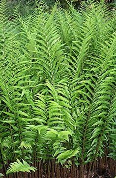 Dryopteris... Full shade yards can have whimsy too!