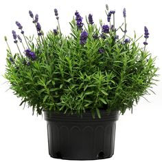 Looking for Lavender Lavance Deep Purple Seeds? Find it at Harris Seeds as well as many other varieties of Lavender. Lavender Seeds, Lavender Garden, Sun Garden, Deep Purple, Blue, All Flowers, Beautiful Flowers, Overwintering, Growing Herbs
