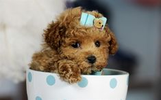 brown dog, poodle, cute animals, 4k, dogs, cup, brown puppy, Toy poodle