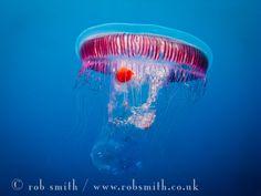 Jellyfish @ Reqqa Pt, Gozo