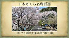 【(Japan)日本さくら名所百選】七川ダム湖畔(和歌山県古座川町)[Beautiful cherry blossoms in Japan]
