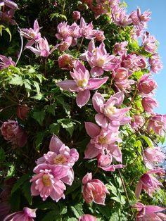 'Markham's Pink' Clematis