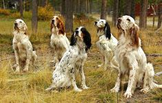 The English Setter, also known as the Lawerack or the Laverack, is a breed of dog in the Sporting Group. This beautiful and graceful bre. Labrador, Irish Setter, Gordon Setter, Hunting Dogs, Beautiful Dogs, Dog Art, I Love Dogs, Pet Birds, Best Dogs
