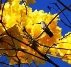 """Flor símbolo do Brasil, está presente em todo território nacional, o ipê amarelo é a árvore brasileira mais conhecida, e a mais bela. É na verdade um complexo de nove ou dez espécies com características mais ou menos semelhantes, com flores brancas, amarelas ou roxas.  A espécie Tabebuia alba, nativa do Brasil, é uma das espécies do gênero Tabebuia, família Bignoniaceae, que possui """"Ipê Amarelo"""" como nome popular. Em São Sebastião do Paraíso, Minas Gerais, Brasil.  Fotografia: Aline…"""