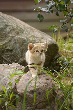 Sand cat kitten