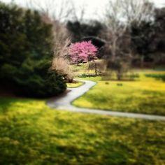 Cherry blossoms, courtesy of the NY Botanical Garden