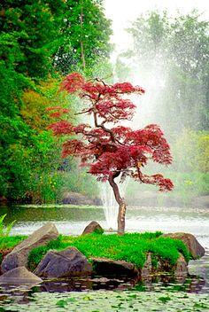 Japanese maple beauty, Van Dusen Gardens
