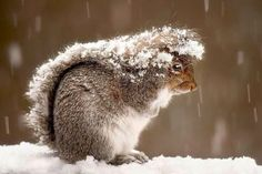 Eee! Cute! @Angelo Surmelis, look! —Squirrels use their tail as an umbrella to protect from snow