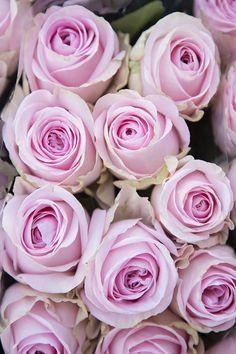 Beautiful Rose Flowers, Amazing Flowers, Purple Flowers, Pink Roses, Beautiful Flowers, Rose Wallpaper, Iphone Wallpaper, Mandala Rose, Shabby Flowers