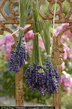 Lavender on the iron fence...