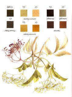 Natural dyeing: elderberry