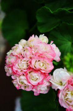 miniflora tiroler h nge geranien rot garden flowers. Black Bedroom Furniture Sets. Home Design Ideas