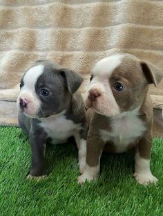 Champagne & Blue Boston Terriers