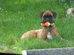 Silly Boxer dog Jessie doesn't like sharing with her sister, so she keeps three tennis balls all to herself! For more cute dogs and puppies Funny Animal Pictures, Dog Pictures, Funny Animals, Cute Animals, Animal Pics, Dog Photos, Random Pictures, Animal Sayings, Crazy Animals