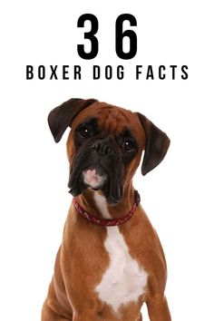 36 Boxer Dog Facts - How Many Did You Already Know? Boxer Dogs Facts, Boxer Dog Breed, Dog Facts, Female Boxers, White Boxers, Happy Puppy, Therapy Dogs, Service Dogs, Physical Activities