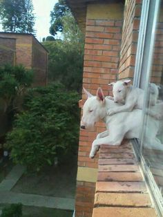 These cute English Bull Terriers are known especially for their trusting and friendly temperament and so Bull Terriers make excellent companions because of their loving nature. Chien Bull Terrier, Mini Bull Terriers, Miniature Bull Terrier, Bull Terrier Puppy, English Bull Terriers, Best Dog Breeds, Best Dogs, I Love Dogs, Cute Dogs