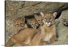 *PUMA & CUBS* - Mountain Lion or Cougar- Belongs to Biological Family of Cats and Jaguarundi or Eyra Cat. Nature Animals, Animals And Pets, Baby Animals, Cute Animals, Big Cats, Cats And Kittens, Cute Cats, Beautiful Cats, Animals Beautiful
