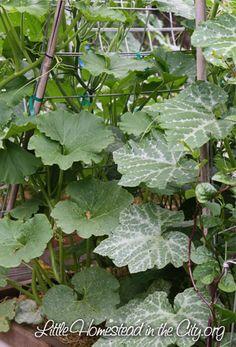 summer squash grown on a trellis