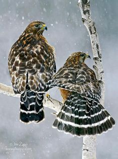 Red-shouldered Hawk ~ sighting at Chris and Joanne's place in So. Cal. December of 2012.
